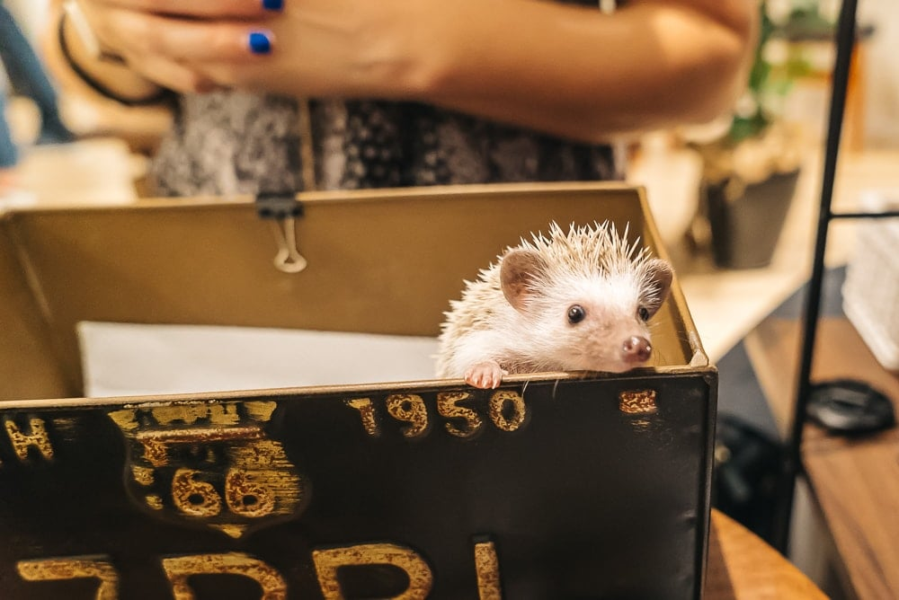 hedgehog cafe in Japan is one of the must visit animal cafes in japan
