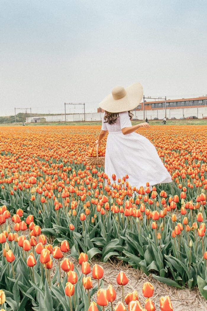 Local Tips: Finding Tulip Fields in Netherlands the Right Way