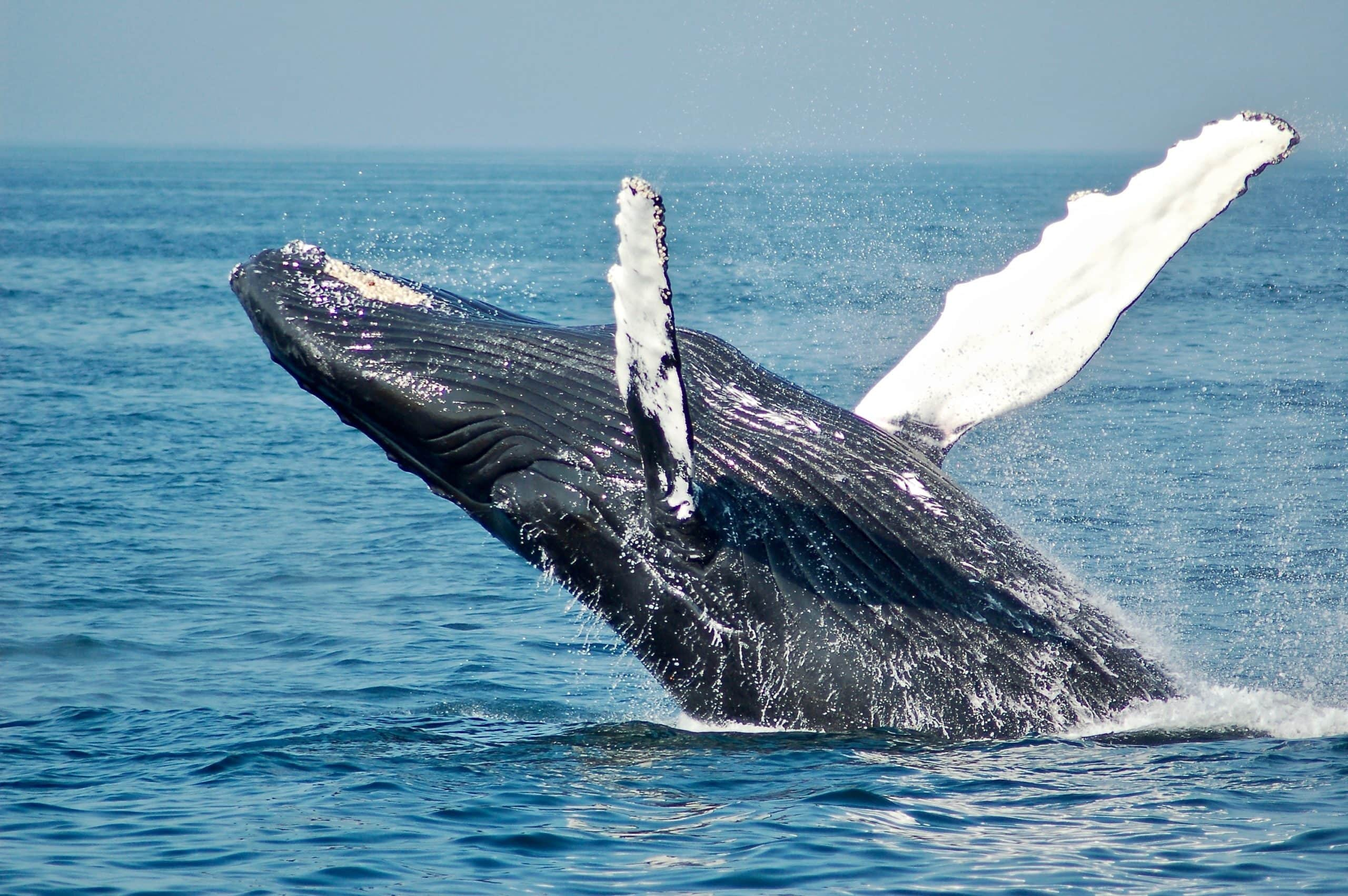 whale watching in iceland in july